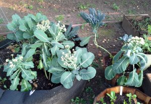 Cauliflower and kale (and black radishes in the foreground)